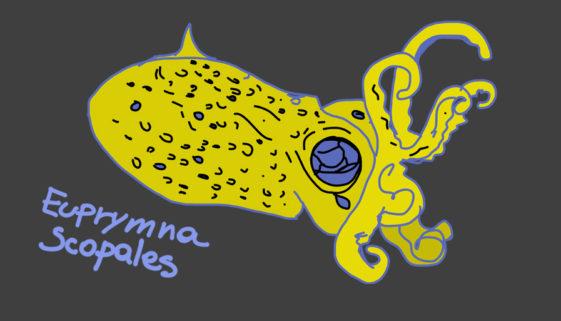 euprymna-scopales